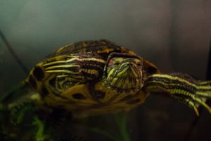 Ganymede the turtle close up
