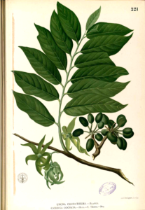 Cananga odorata illustrated in Francisco Manuel Blanco's Flora de Filipinas. 1800-1803?. Public domain from Wikipedia.