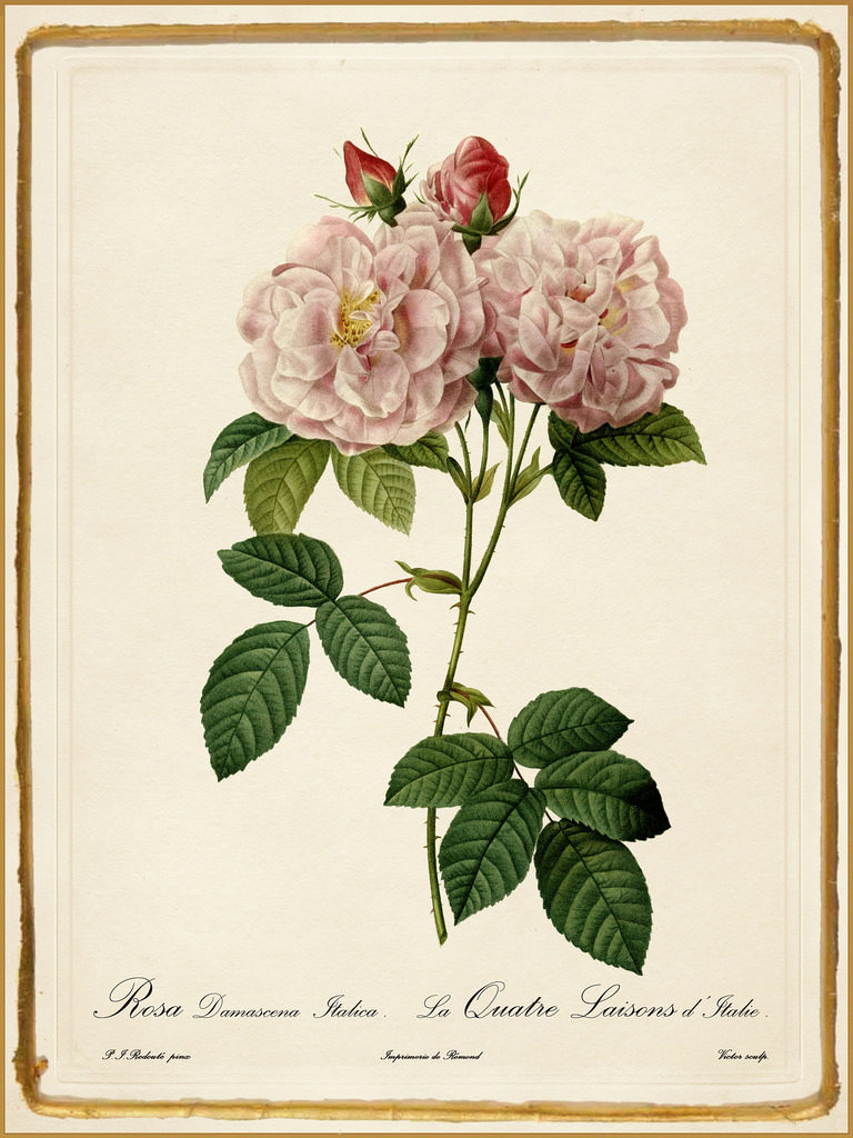 Rosa damascena postcard by resolute